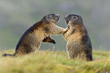 Alpine Marmot (Marmota marmota) pair interacting, Hohe Tauern, Austria. Sequence 4 of 7  -  Willi Rolfes/ NIS