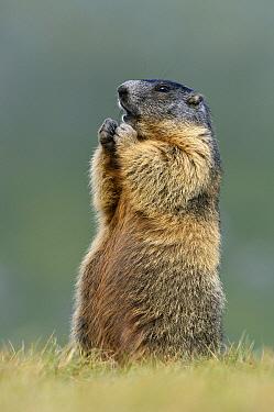 Alpine Marmot (Marmota marmota) standing on rear legs, Hohe Tauern, Austria  -  Willi Rolfes/ NIS