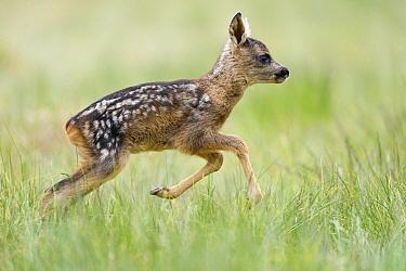 Western Roe Deer (Capreolus capreolus) juvenile running, Germany  -  Willi Rolfes/ NIS