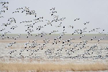 Pied Avocet (Recurvirostra avosetta) group landing, Waddenzee, Holwerd, Friesland, Netherlands  -  Marcel van Kammen/ NiS