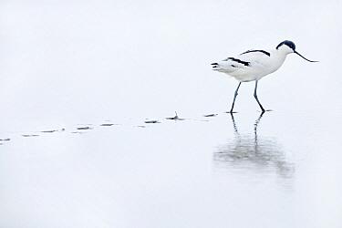 Pied Avocet (Recurvirostra avosetta) walking in mud, Waddenzee, Holwerd, Friesland, Netherlands  -  Marcel van Kammen/ NiS