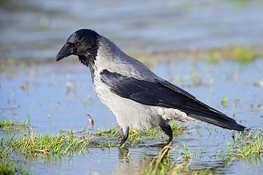 Hooded Crow (Corvus cornix) wading, Lauwersmeer, Groningen, Netherlands  -  Marcel van Kammen/ NiS
