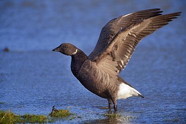 Brant (Branta bernicla) flapping wings, Holwerd, Friesland, Netherlands  -  Marcel van Kammen/ NiS
