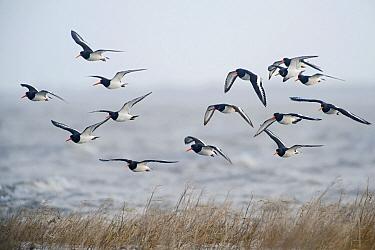 Eurasian Oystercatcher (Haematopus ostralegus) flock flying, Waddenzee, Holwerd, Friesland, Netherlands  -  Marcel van Kammen/ NiS