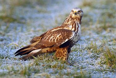 Rough-legged Hawk (Buteo lagopus), Lauwersmeer, Groningen, Netherlands  -  Ruurd Jelle van der Leij/ Buiten-beeld