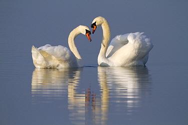 Mute Swan (Cygnus olor) pair in courtship display, Oostvaardersplassen, Flevoland, Netherlands  -  Jan Sleurink/ NiS
