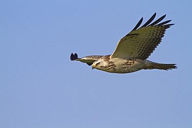 Common Buzzard (Buteo buteo) flying, Praamweg, Flevoland, Netherlands  -  Jan Sleurink/ NiS