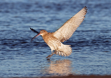 Eurasian Curlew (Numenius arquata) landing on water, Holy Island, Northumberland, England  -  Roger Powell/ NiS