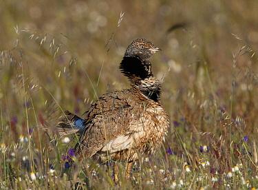 Little Bustard (Tetrax tetrax) male displaying, Guerreiro, Alentejo, Portugal  -  Roger Powell/ NiS