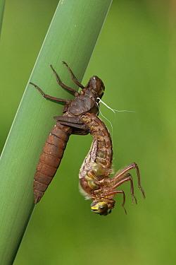 Hairy Dragonfly (Brachytron pratense) metamorphosing, Overijssel, Netherlands. Sequence 5 of 13  -  Karin Rothman/ NiS