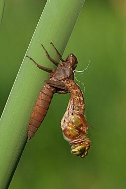 Hairy Dragonfly (Brachytron pratense) metamorphosing, Overijssel, Netherlands. Sequence 6 of 13  -  Karin Rothman/ NiS