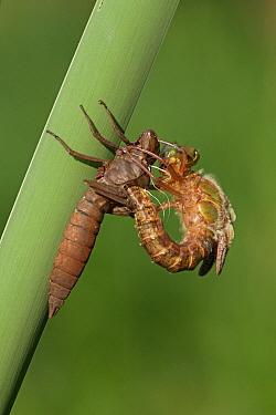 Hairy Dragonfly (Brachytron pratense) metamorphosing, Overijssel, Netherlands. Sequence 8 of 13  -  Karin Rothman/ NiS