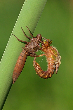 Hairy Dragonfly (Brachytron pratense) metamorphosing, Overijssel, Netherlands. Sequence 9 of 13  -  Karin Rothman/ NiS