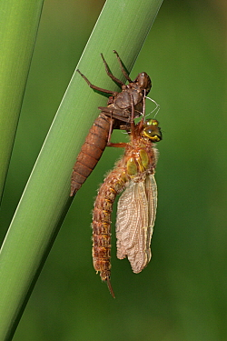 Hairy Dragonfly (Brachytron pratense) metamorphosing, Overijssel, Netherlands. Sequence 11 of 13  -  Karin Rothman/ NiS