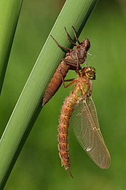 Hairy Dragonfly (Brachytron pratense) metamorphosing, Overijssel, Netherlands. Sequence 12 of 13  -  Karin Rothman/ NiS