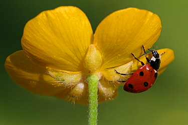 Seven-spotted Ladybird (Coccinella septempunctata) on flower, Vriezenveen, Twente, Overijssel, Netherlands  -  Karin Rothman/ NiS