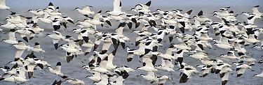 Pied Avocet (Recurvirostra avosetta) flock flying, Holwerd, Friesland, Netherlands  -  Marcel van Kammen/ NiS