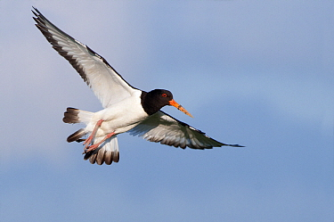 Eurasian Oystercatcher (Haematopus ostralegus) flying, Holwerd, Friesland, Netherlands  -  Marcel van Kammen/ NiS