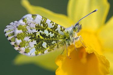 Orange Tip (Anthocharis cardamines) butterfly on Daffodil (Narcissus sp), Vriezenveen, Twente, Overijssel, Netherlands  -  Karin Rothman/ NiS