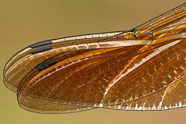 Downy Emerald (Cordulia aenea) dragonfly wing detail, Overijssel, Netherlands  -  Karin Rothman/ NiS
