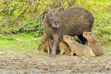 Capybara (Hydrochoerus hydrochaeris) mother nursing young, Venezuela  -  Otto Plantema/ Buiten-beeld