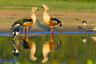 Great Potoo (Nyctibius grandis) pair and Black-necked Stilt (Himantopus mexicanus) pair at lake, Venezuela  -  Otto Plantema/ Buiten-beeld