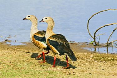 Great Potoo (Nyctibius grandis) pair at lake, Venezuela  -  Otto Plantema/ Buiten-beeld