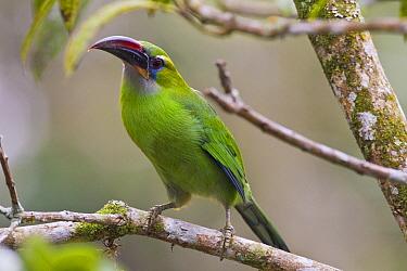 Groove Billed Toucanet (Aulacorhynchus sulcatus), Venezuela  -  Otto Plantema/ Buiten-beeld