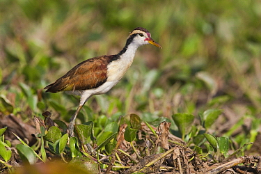 Wattled Jacana (Jacana jacana) chick, Venezuela  -  Otto Plantema/ Buiten-beeld