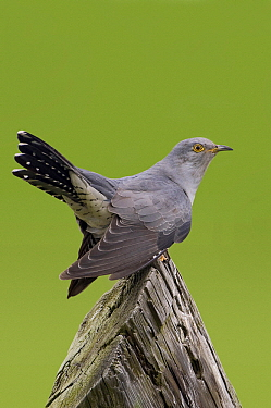 Common Cuckoo (Cuculus canorus) male, Lutjegast, Groningen, Netherlands  -  Marcel van Kammen/ NiS