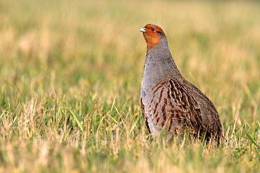 European Partridge (Perdix perdix), Utrecht, Netherlands  -  Lesley van Loo/ NiS