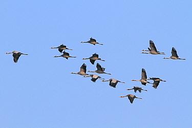 Common Crane (Grus grus) flock flying, Europe  -  Lesley van Loo/ NiS