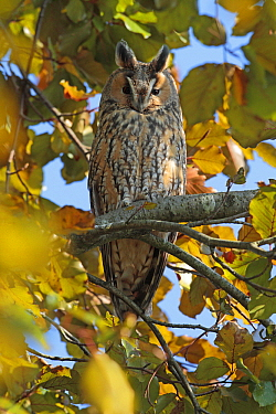 Long-eared Owl (Asio otus), Utrecht, Netherlands  -  Lesley van Loo/ NiS
