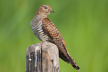 Common Cuckoo (Cuculus canorus) female, Friesland, Netherlands  -  Henny Brandsma/ Buiten-beeld