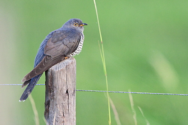 Common Cuckoo (Cuculus canorus) male, Friesland, Netherlands  -  Henny Brandsma/ Buiten-beeld