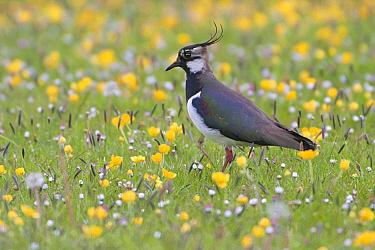 Lapwing (Vanellus vanellus) in field of wildflowers, Europe  -  Marcel van Kammen/ NiS
