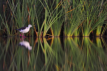 Black-winged Stilt (Himantopus himantopus) wading, Spain  -  Jasper Doest
