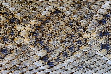 Western Diamondback Rattlesnake (Crotalus atrox) skin, George West, Texas  -  Jasper Doest
