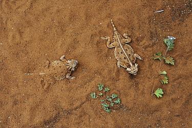 Texas Horned Lizard (Phrynosoma cornutum) pair in sand, George West, Texas  -  Jasper Doest