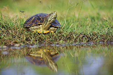Red-eared Slider (Trachemys scripta elegans) turtle, George West, Texas  -  Jasper Doest