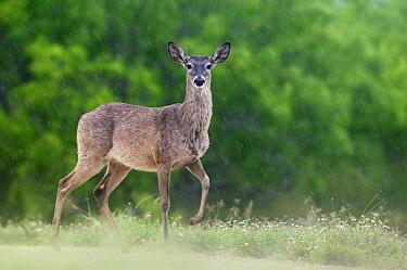 White-tailed Deer (Odocoileus virginianus) in rain, George West, Texas  -  Jasper Doest