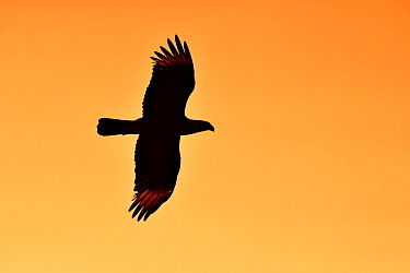 Crested Caracara (Caracara cheriway) flying at sunset, George West, Texas  -  Jasper Doest