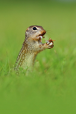 Thirteen-lined Ground Squirrel (Spermophilus tridecemlineatus) feeding, George West, Texas  -  Jasper Doest