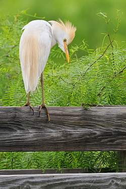 Cattle Egret (Bubulcus ibis) perching on fence, George West, Texas  -  Jasper Doest