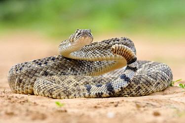 Western Diamondback Rattlesnake (Crotalus atrox) in defensive posture, George West, Texas  -  Jasper Doest