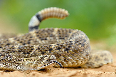 Western Diamondback Rattlesnake (Crotalus atrox) tail showing rattle, George West, Texas  -  Jasper Doest