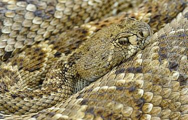 Western Diamondback Rattlesnake (Crotalus atrox), George West, Texas  -  Jasper Doest