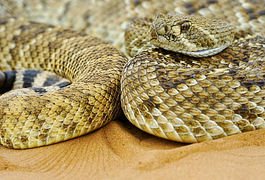 Western Diamondback Rattlesnake (Crotalus atrox), George West, Texas  -  Jasper Doest