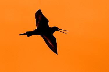 Black-tailed Godwit (Limosa limosa) flying at sunset, Netherlands  -  Jasper Doest