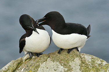 Razorbill (Alca torda) pair in courtship display, Saltee Island, Ireland  -  Jasper Doest